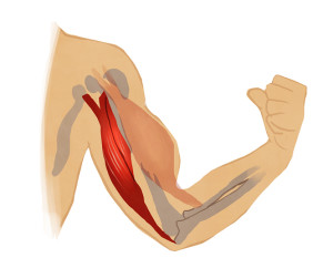Triceps illustration